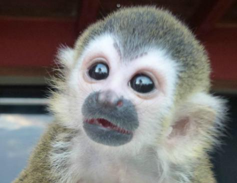 Baby titi monkey