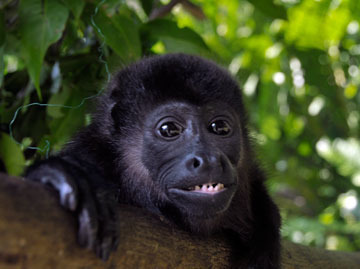 Tugo the howler monkey