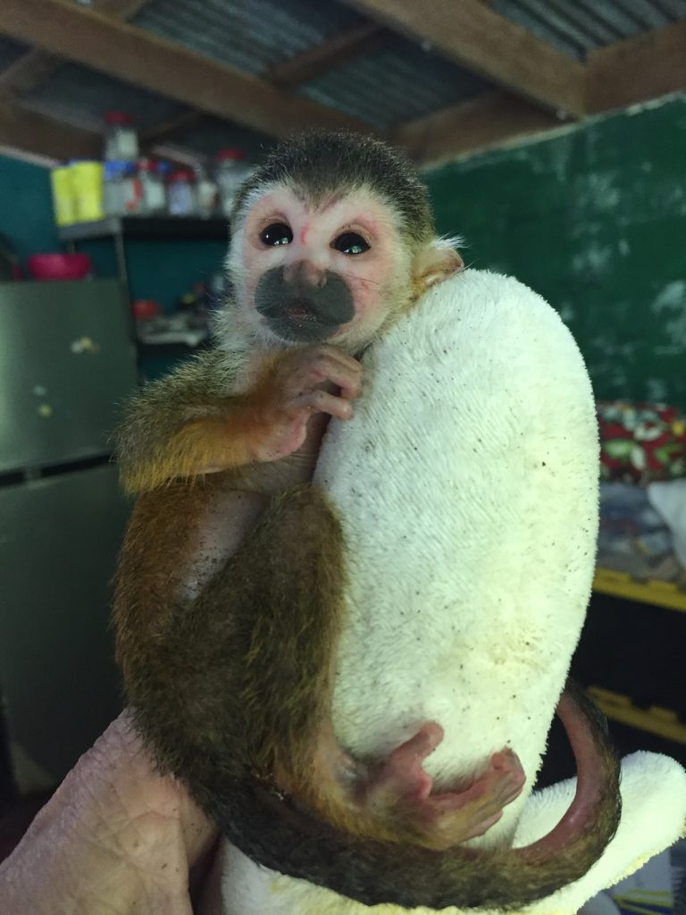 Baby squirrel monkey on stuffed animal