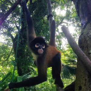 Spider monkey hanging by tail and arm