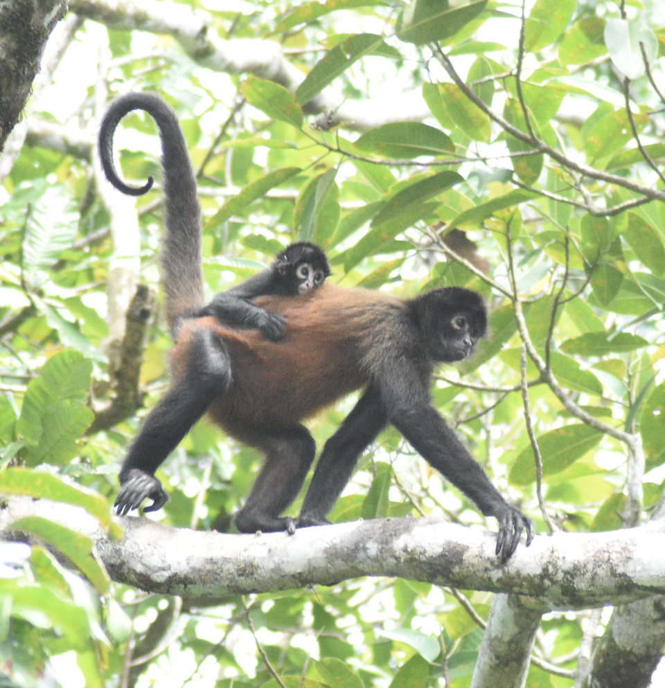 Spider monkey walking across branch with baby on back