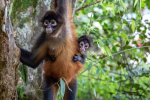 Spider monkey hanging from tree with baby on back, peering around her